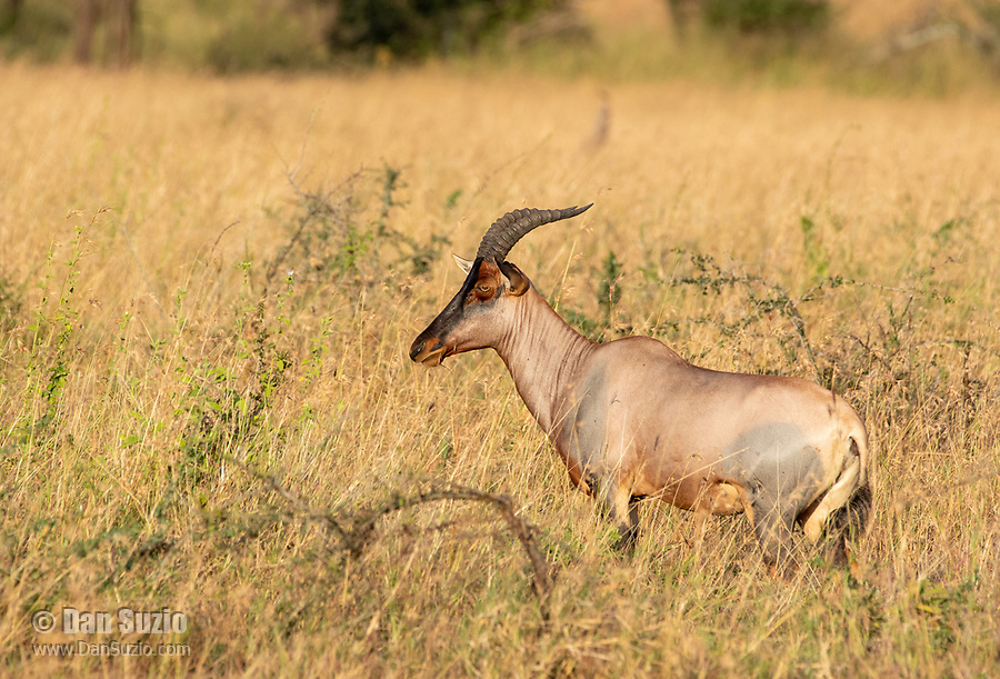 A Topi, Damaliscus lunatus jimela, stands in tall grass in Serengeti National Park, Tanzania