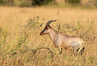 A Topi, Damaliscus lunatus jimela, stands in tall grass in Serengeti National Park, Tanzania