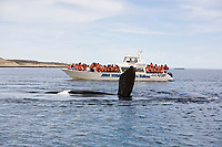 Whale watching boat & southern right whale, Eubalaena australis, Conservation Dependant (IUCN), UNESCO Natural World Heritage Site, Golfo Nuevo, Peninsula Valdes, Chubut, Patagonia, Argentina, Atlantic Ocean