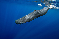 sperm whale, or cachalot, Physeter macrocephalus, young whale, Dominica, Caribbean Sea, Atlantic Ocean, permit # RP 13/365 W-03