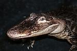 american alligator medium shot facing left in water