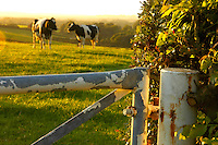 Dairy cows and sunset, Staffordshire.