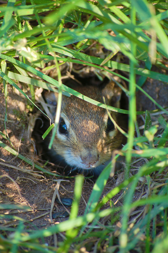 A wild chipmunk peeking out of his home. Marquette, MI
