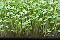Broccoli grown in seed trays as a micro-leaf salad veg.