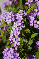 A pretty purple flowering plant