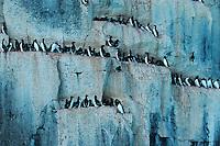 Thick-billed Murre (Uria lomvia), breeding colonie in cliff, Hinlopen Strait, Svalbard, Spitsbergen, Norway, Arctic