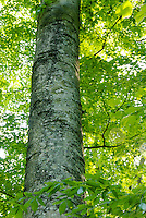 Section of lichen-covered bark of American Beech (Fagus grandifolia) within a deciduous forest canopy, Indiana, USA