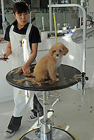 A dog gets a hair-cut  in a dog barbers and beauty salon in Tokyo, Japan. <br /> 20-Jan-2011