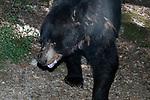 American black bear walking towards camera looking left, medium shot.