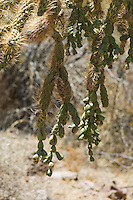 Chainfruit cholla, Cylindropuntia fulgida.  Organ Pipe Cactus National Monument, Arizona.