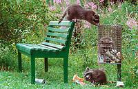 Raccoons (Procyon lotor) raid trash can, raccoon