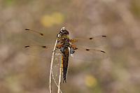 Vierfleck-Libelle, Vierfleck,  Libellula quadrimaculata, Four-spotted Libellula, La Libellule à quatre taches