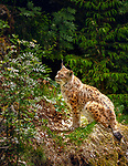 Deutschland, Bayern, Niederbayern, Nationalpark Bayerischer Wald, Neuschoenau: Luchs (Lynx) im Freigehege des Nationalparks | Germany, Bavaria, Lower-Bavaria, National Park Bavarian Forest, Neuschoenau: Lynx at the national park's outdoor enclosure