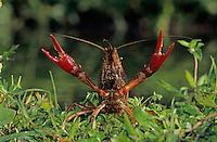 Crayfish, Crawfish,  Astacidae, adult in defensive pose, Sinton, Coastel Bend, Texas, USA