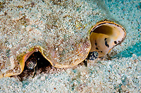 queen conch, Aliger gigas (formerly Strombus gigas or Lobatus gigas), eyes, St. Kitts, Caribbean.