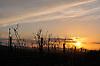 getrockneter Weintriebe im Weinberg vor untergehender Sonne