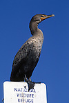 Double-crested Cormorant On Refuge Sign