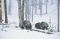 Grizzly Bear sow with two two year old cubs during early spring snowstorm.  Wyoming.