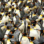 Manchots royaux. Colonie de Fortunaa Bay, l'une des plus grandes du monde avec pres de 200 000 individus. Croisière à bord du NordNorge. Georgie du Sud.