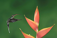 Green Hermit, Phaethornis guy, female in flight on Heliconia flower, Central Valley, Costa Rica, Central America, December 2006