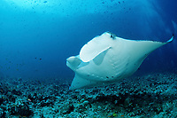 reef manta ray, Manta alfredi, Maldives Islands, Indian ocean, Ari Atoll, Atol, Madivaru