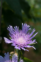 Stokesia laevis 'Bluestone'