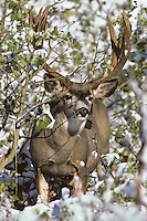 Mule Deer buck in fresh snow.  Northern Rockies, fall.