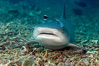 A remora can be seen clinging to the top of this whitetip reef shark, Triaenodon obesus. Sipidan Island, Malaysia.