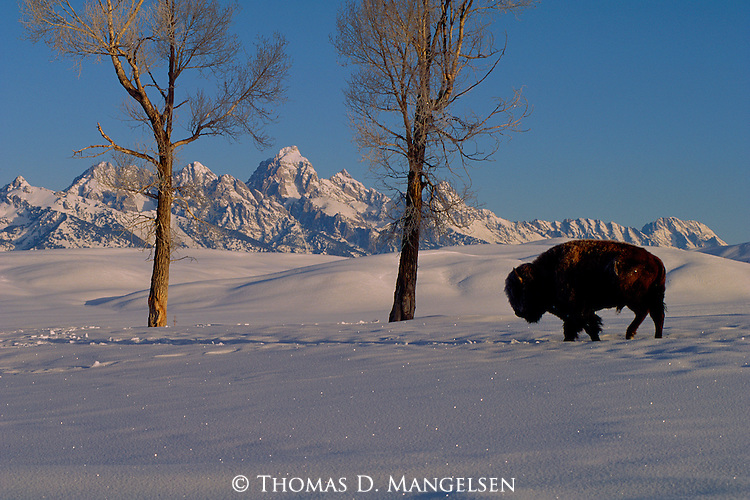 A lone bison trudges through the snow in search of food on the National Elk Refuge in Jackson Hole, Wyoming.