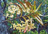 orchidée du plateau de poro