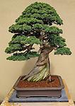 Bonsai, Pacific Rim Bonsai Collection, Federal Way, WA