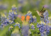 Black-chinned Hummingbird (Archilochus alexandri), adult female feeding on blooming Prairie Paintbrush (Castilleja purpurea var. lindheimeri) among Texas Bluebonnet (Lupinus texensis), Hill Country, Texas, USA