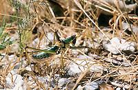 Griechische Sägeschrecke, Männchen, Saga hellenica, Predatory Bush-Cricket, Predatory Bush Cricket, male