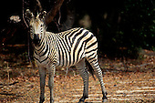 Mosi o Tunya Park, Tanzania. Wildlife safari game reserve; single zebra in savannah.