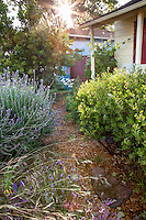 Sunburst over mulched path next to Arctostaphylos, evergreen manzanita native shrub in drought tolerant front yard, Sibley garden, Richmond, California