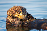 Enhydra lutris nereis, Sea otter, A sea otter, resting and floating on its back, in Elkhorn Slough,, Elkhorn Slough National Estuarine Research Reserve, Moss Landing, California, USA