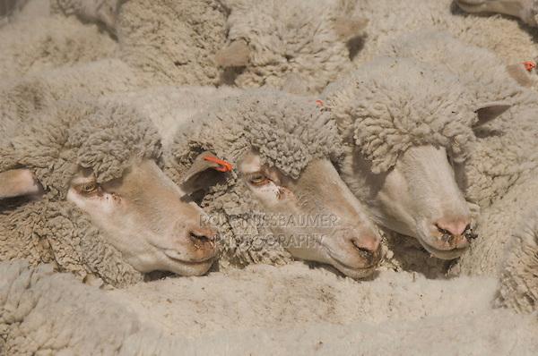 Domestic Sheep, Hill Country, Texas, USA, April 2007