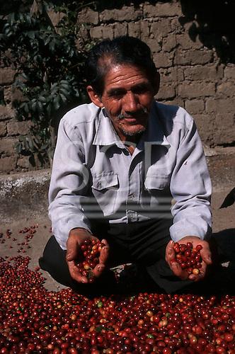 Quillabamba, Peru. Fair Trade coffee grower holding handfuls of fresh coffee beans; Ccochapampa cooperative.
