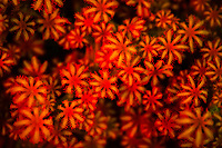 octocoral coral polyps, fluorescence photography, Raja Ampat Islands, West Papua, Indonesia, Indo-Pacific Ocean
