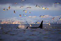Killer whales Orcinus orca feeding at sunset with gulls following above, Vestfjord, Arctic Norway, North Atlantic