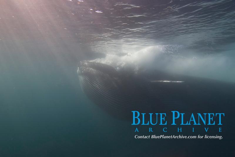 fin whale, Balaenoptera physalus, feeding on krill, underwater, pleats expanded, Los Coronados Islands, Baja California, Mexico, Pacific Ocean