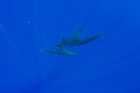 false killer whales, Pseudorca crassidens, sharing their catch - one whale passes an African pompano, Alectis ciliaris, to another member of the pod, Kona Coast, Big Island, Hawaii, USA, Pacific Ocean (Central Pacific Ocean) #2 in sequence of 2