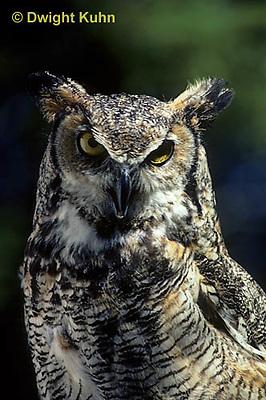 OW06-001z  Great horned owl - Bubo virginianus