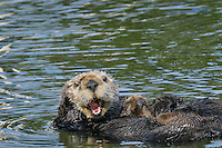 Sea Otter (Enhydra lutris)--yawning mother holds young sleeping pup on her tummy.