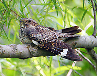 Male lesser nighthawk