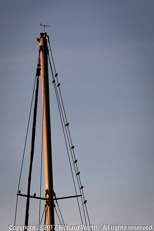 Birds in silhouette, perched on sailboat rigging near sunset along San Francisco Bay.