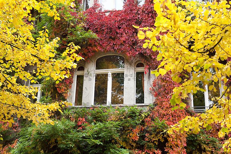 Berlino, quartiere Kreuzberg, Bergmannstraße. La finestra di una casa ricoperta di piante dai colori autunnali --- Berlin, Kreuzberg district, Bergmannstrasse. The window of a house covered with autumn colored plants