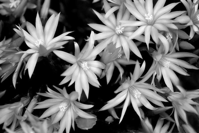 Close up of Sunrise Cactus. Rhipsalidopsis gaertneri.