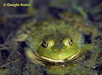 FR02-007a  Bullfrog - adult in pond - Lithobates catesbeiana, formerly Rana catesbeiana