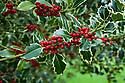 Ilex aquifolium 'Argentea Marginata' syn. 'Argentea Variegata', early November.
